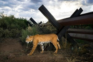 A bobcat that has just crossed the fence dividing the federal states of Sonora (Mexico) and Arizona (US)