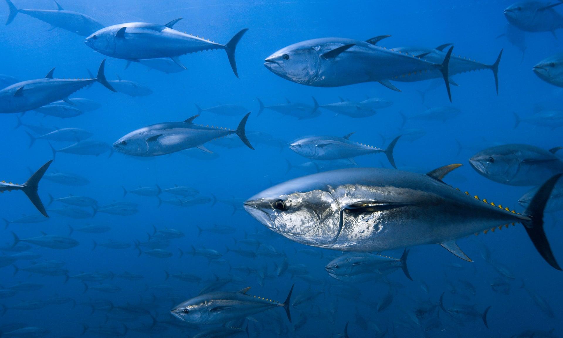 tuna and bluefin