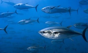 Yellowtail and albacore tuna are becoming increasingly rare, as well as bluefin.