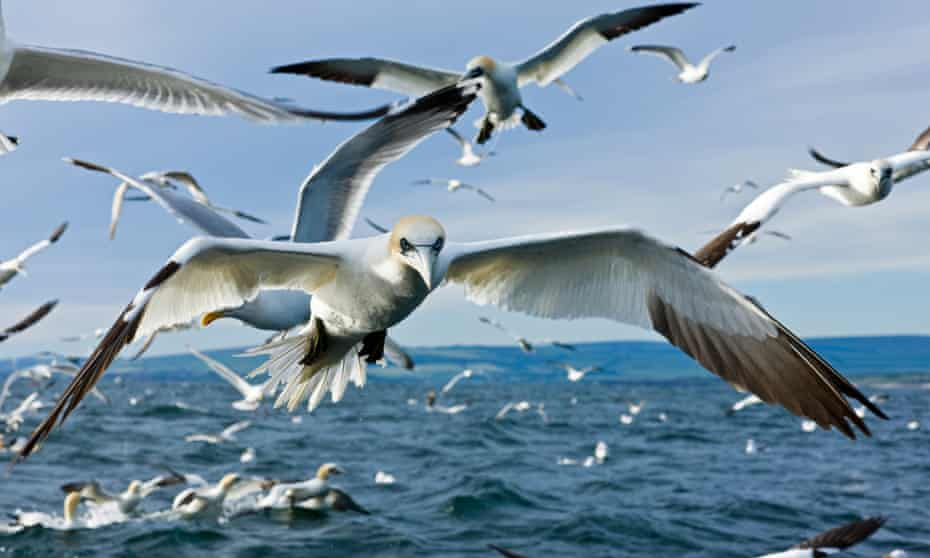 Gannets in flight over the Bass Rock in the Firth of Forth