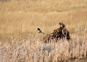 A moose and a black-billed magpie at Seedskadee national wildlife refuge.