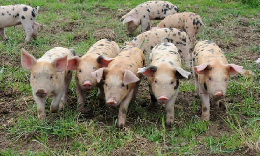 Pigs in a field at Odds Farm Park, Buckinghamshire