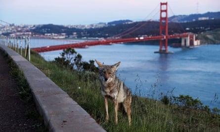 Coyote near Golden Gate Bridge