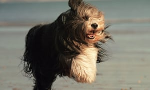 A bearded collie in Dogs: An Amazing Animal Family.