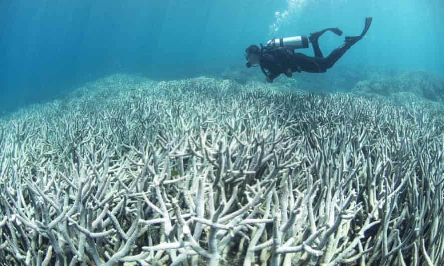 A diver checks the bleached coral at Heron Island on the Great Barrier Reef in April 2016