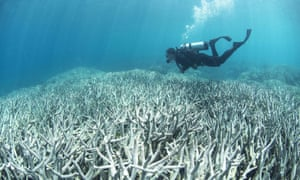 A diver checking bleached coral on the Great Barrier Reef – around half has now been bleached.