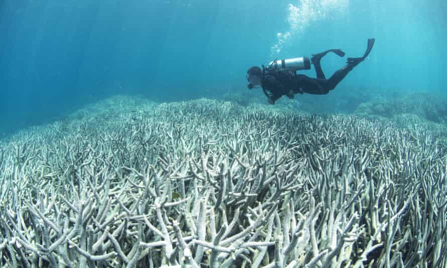 A diver checks the bleached coral on the Great Barrier Reef