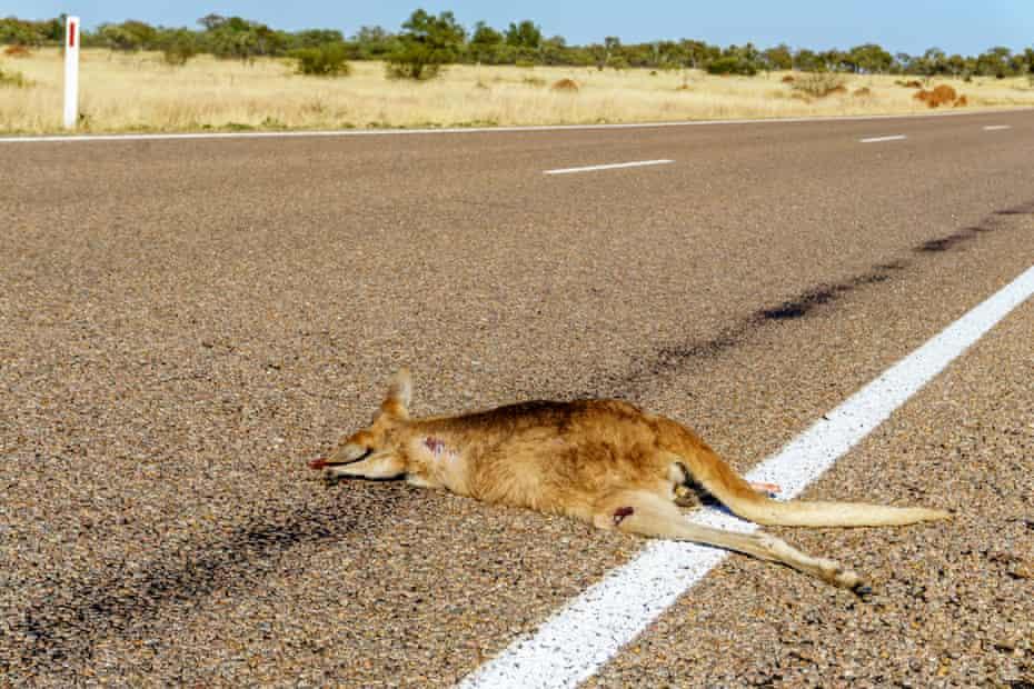 Kangaroo road kill on an Australian highway.