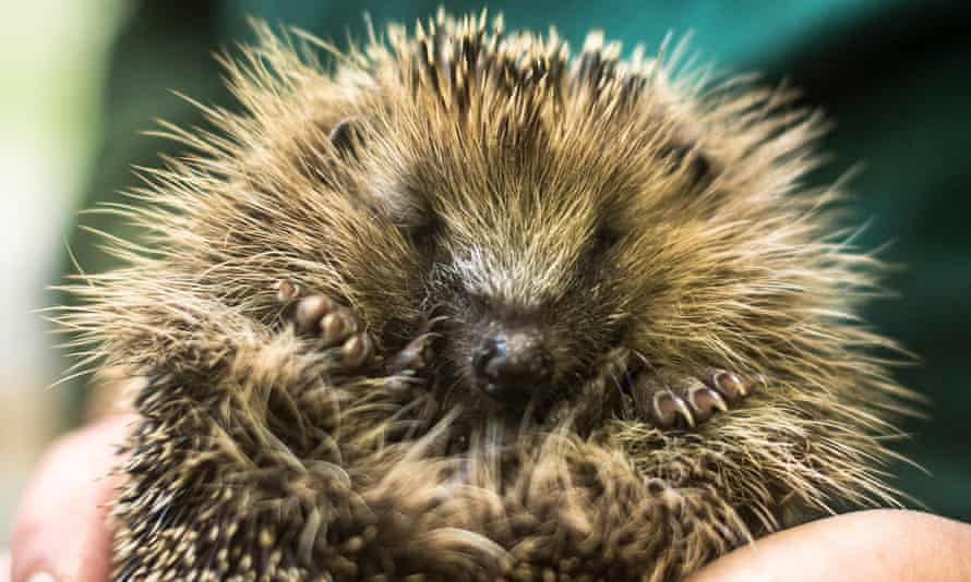 The report for The Wildlife Trusts, RSPB and WWF, warns the UK is at risk of losing regulations that prevent hedgerows being cut during the hedgehogs' nesting season.