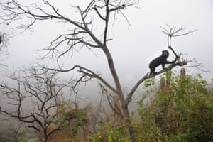 A spectacled bear climbing in tree on a typical misty morning in the dry forest.