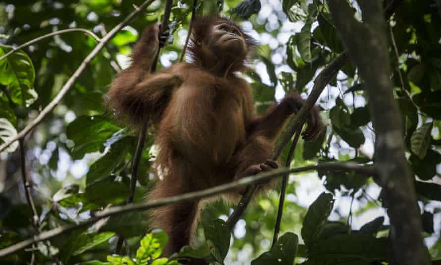 An orangutan at the Sumatran Orangutan Conservation Programme's rehabilitation centre in Kuta Mbelin