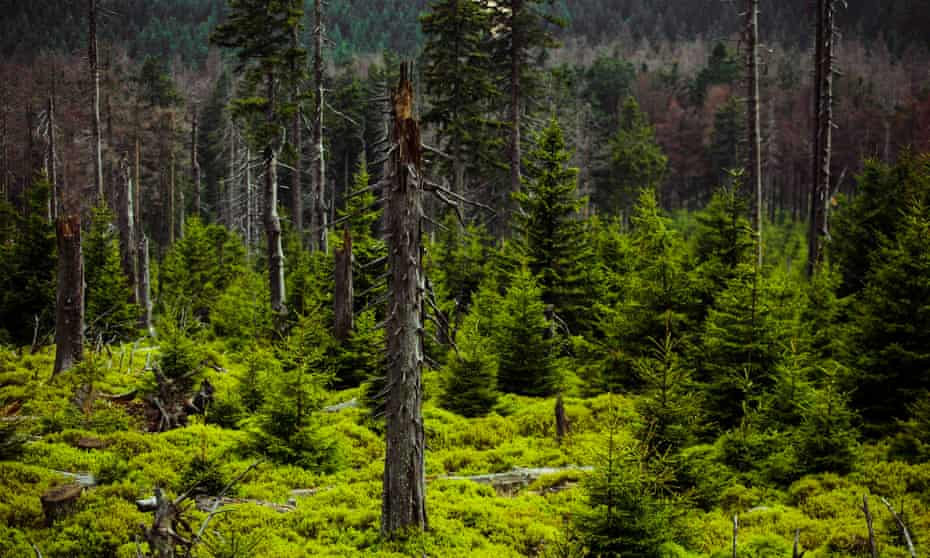 Pine forests on the Brocken.