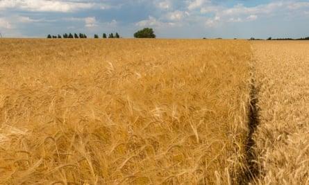 A barley field in Suffolk