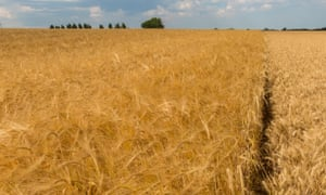 A field of barley, left, growing alongside a field of wheat in Suffolk. New laws could change the way crops are produced.