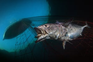 A tuna trapped in a fishing net