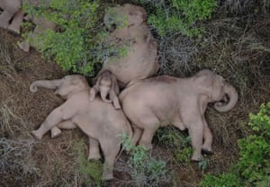 Elephants which had wandered 500km north from their natural habitat, rest in a forest near Kunming