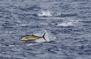 A yellow fin tuna jumps from the water during a feeding frenzy on bait fish.