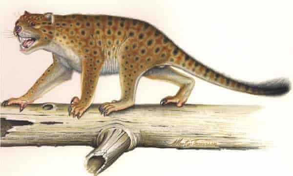 A drawing of a giant marsupial lion, Thylacoleo carnifex.