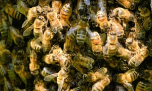 Schwarmfängers to the rescue? There are now about 10,000 bee colonies in Berlin, which is causing habitat and food shortages.