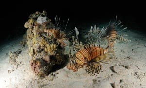 The lionfish has a prodigious breeding rate - a female can produce two million eggs a year.