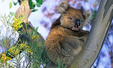 A koala on Kangaroo Island