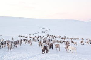 A large group of reindeer on snowy slopes in Swedish Lapland. When the snow gets too deep, reindeer herders move the animals down from the mountains on special migration routes, which are often very old.
