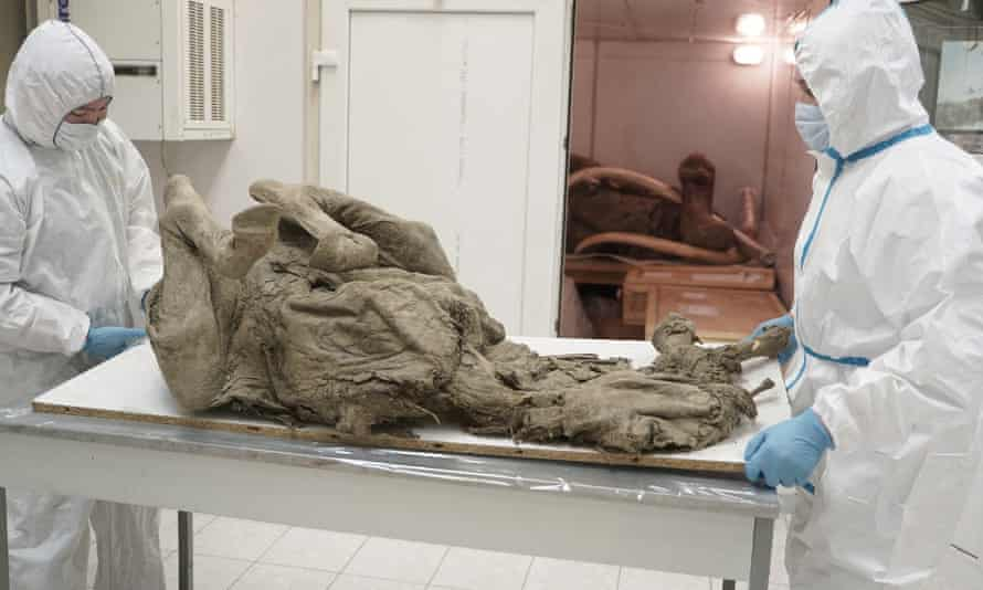 Researchers at North-Eastern Federal University in Yakutsk extract tissues from a prehistoric horse.