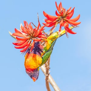 A rainbow lorikeet (Trichoglossus haematodus) – a colourful, medium-sized Australian parrot – feeds on the flowers of a coral tree