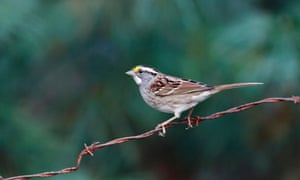 The white-throated sparrow is one of the species believed to be particularly at risk from building collisions.