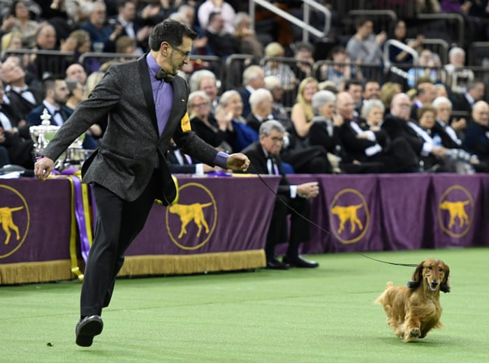 King for a lifetime: Wire fox terrier named Westminster's best in