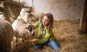 Girl feeding lambs in barn.