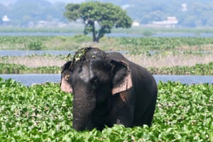 Deepor Beel, India. A wild elephant from the nearby Rani Forest reserve eats water hyacinths in the wetlands on the outskirts of Guwahati