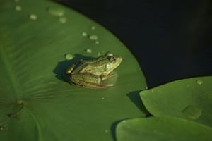 A frog sits on a water lily leaf