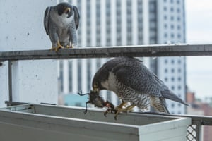 20/05/2015 Peregrines are the fastest animal on earth, being recorded diving up to speeds of 200mph. They prey upon birds, from small ducks and pigeons to blackbirds and swifts.