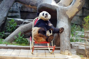 A giant panda plays in a rocking chair at Beijing zoo, China