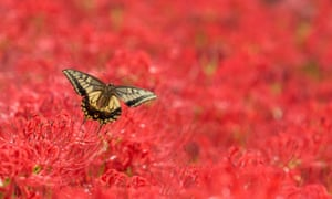A butterfly against autumnal red spider lilies in bloom, Tokyo, Japan
