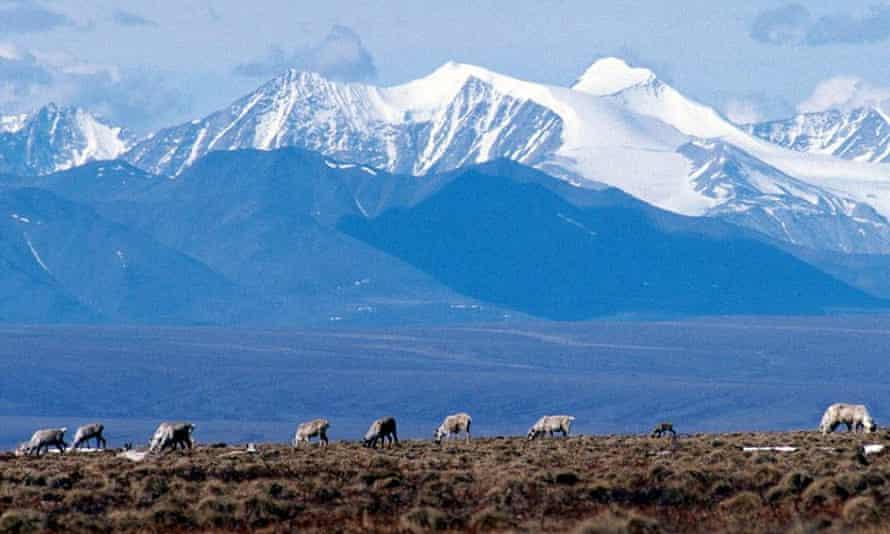 Caribou graze in the Arctic national wildlife refuge in Alaska.
