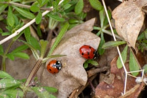 Two seven-spot ladybirds or ladybugs (Coccinella septempunctata) in the UK.