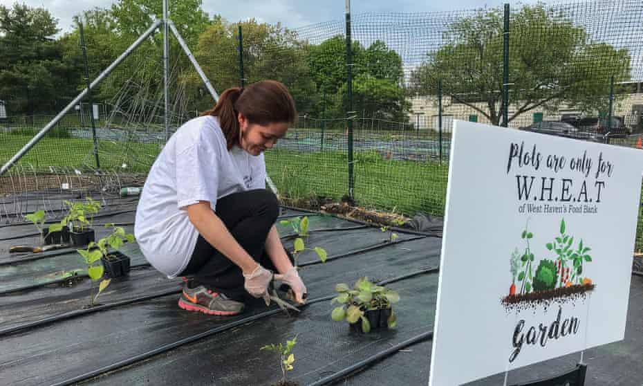 Planting vegetables for West Haven's food bank