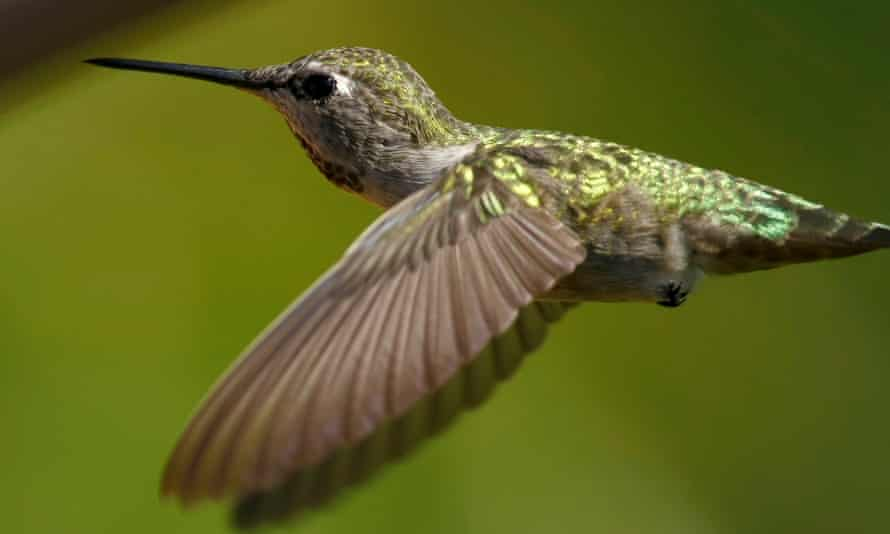 An Anna's hummingbird. The migratory bird is not endangered, but it is protected under federal law.