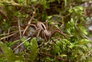 A diamond spider presumed extinct that was discovered for the first time in almost 50 years heathland at Clumber Park in Nottinghamshire