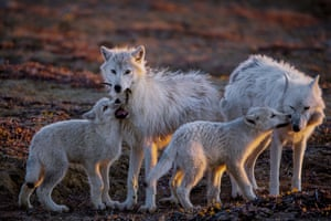 Wolves at the Top of the World   Ronan Donovan/National Geographic Magazine. A pup plays with a feather while another nuzzles White Scarf, the pack's aging matriarch