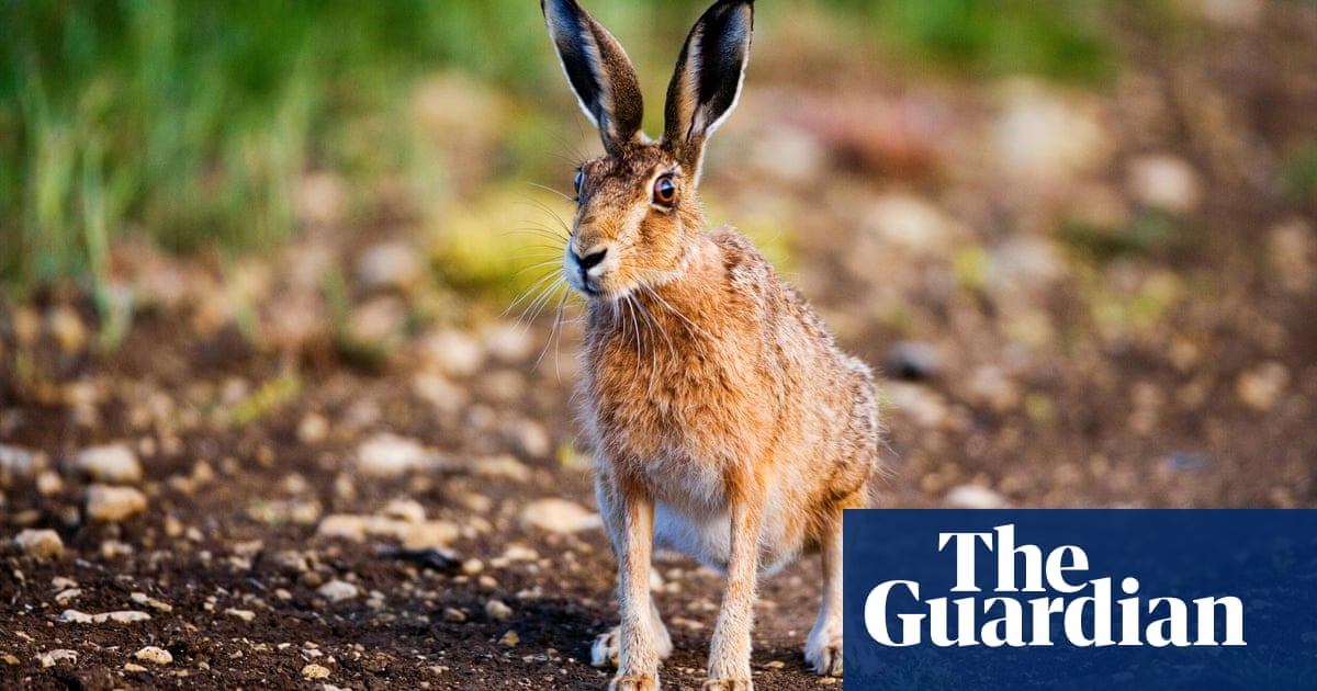The deadly plague that could devastate the US rabbit population