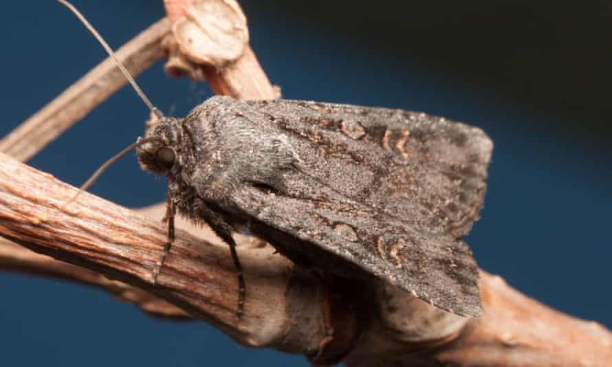 Garden dart moth