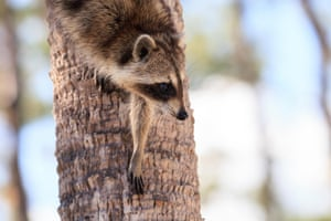 A raccoon forages for food at the Corkscrew Swamp Sanctuary in Naples, Florida, US
