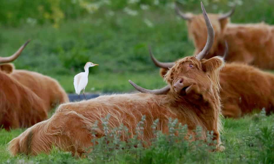 A cattle egret