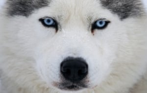 A husky dog looks on before a sled and skijoring race