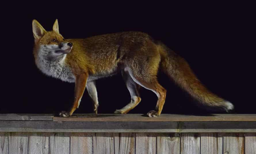 A fox on top of a wooden fence at night