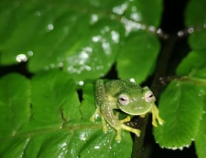 """Picture released by Bolivia's natural history museum showing one of three """"glass frogs"""", which have transparent belly skin, found in early January at the Sehuencas national park in Bolivia."""