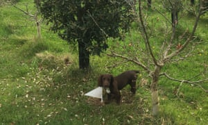 Trained truffle dog Bella who found the truffle.